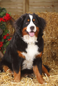 Bernese Mountain Dog sitting at hay - HTF000067