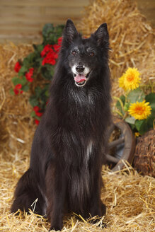 Groenendael, Belgian Shepherd Dog sitting at hay - HTF000077