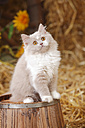 British Longhair, lilac-white kitten sitting on tub - HTF000097