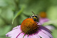 Germany, Bavaria, View of coneflower, close up - CRF002471