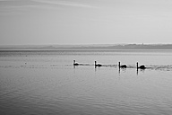 Germany, Bavaria, Swans in Lake Ammersee - DSC000100