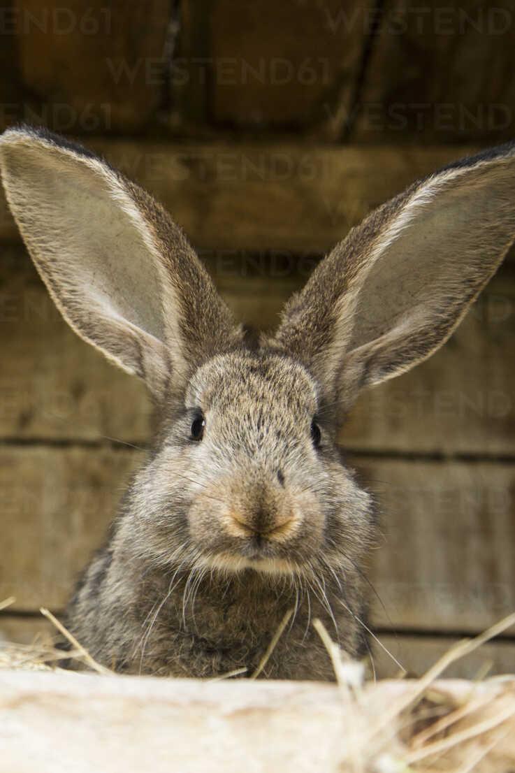 Germany, Brandenburg,  Rabbit, close up - NG000027 - Nadine Ginzel/Westend61