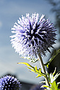Germany, Bavaria, Blue thistle, close up - MAEF007234