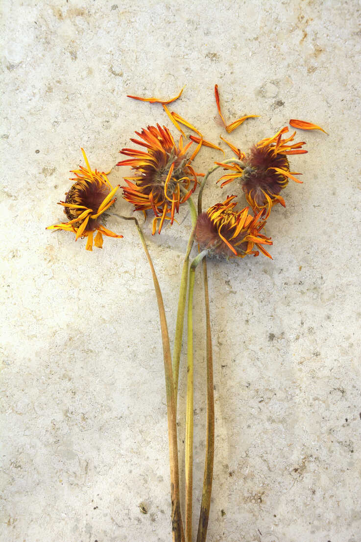 Withered flowers with orange petals, studio shot - AX000501 - Axel Ganguin/Westend61