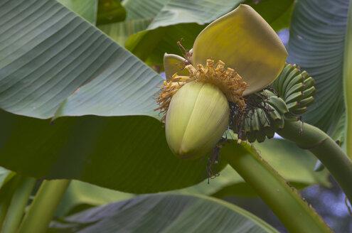 Italy, Alto Adige, Meran, detail of banana blossom (musa) - MHF000210