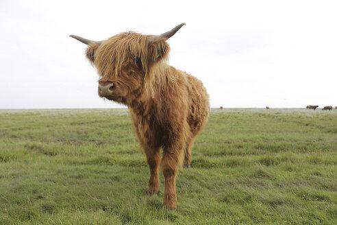 Germany, Lower Saxony, East Frisia, Langeoog, highland cattle - JATF000306