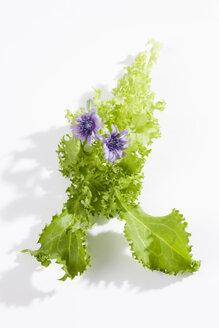 Blooming Endive (Cichorium endivia) - CSF020024