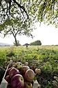 Germany, Rhineland-Palatinate, boy picking up windfall on meadow - PA000022
