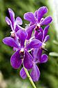 Singapore, Lily Blossom - RNF001288