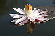 Water lily (Nymphaea) - WI000104