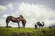 Iceland, Icelandic horses on grassland - MBEF000740