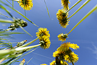Dandelions and blue sky - LBF000298