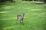 Germany, deer, Capreolus capreolus, joung animal - MYF000038