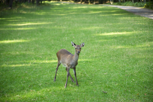 Germany, deer, Capreolus capreolus, joung animal - MYF000038