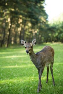 Young roe deer (Capreolus capreolus) on meadow - MY000036