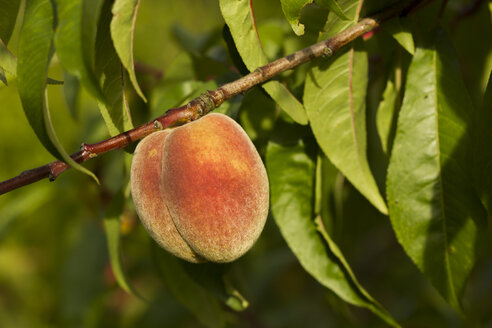 Germany, Thuringia, Peaches on the tree - SJF000062