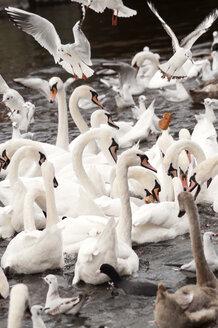 Germany, Hamburg, Binnenalster, swans and seagulls feeding - ODF000581