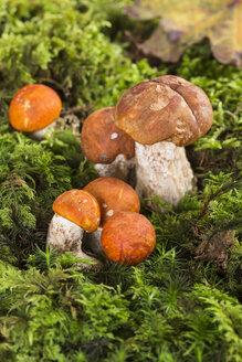 Orange birch bolete (Leccinum versipelle) and red-capped scaber stalk (Leccinum leucopodium) at moss, studio shot - STB000105