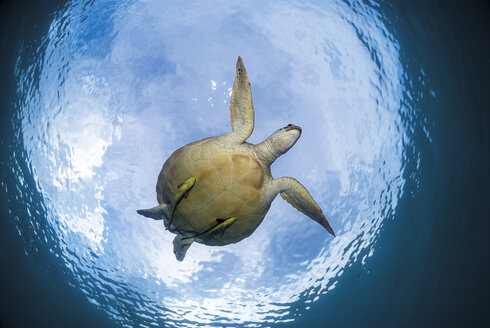 Philippines, Palawan, Busuanga, Dimakya, Green sea turtle (Chelonia mydas) - GN001275