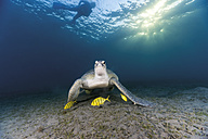 Egypt, Red Sea, Green sea turtle (Chelonia mydas) eating seaweed - GN001276
