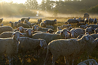 Germany, Bavaria, Upper Bavaria, Anlauter valley, Enkering, Schellenburg, a herd of sheep in morning light - LB000392
