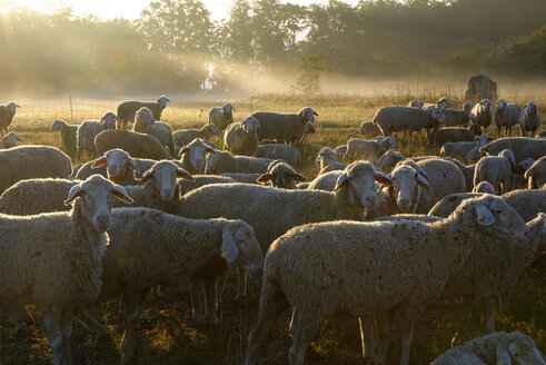 Germany, Bavaria, Upper Bavaria, Anlauter valley, Enkering, Schellenburg, a herd of sheep in morning light - LB000392