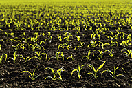 Germany, Bavaria, Holzen, Young maize plants in field - TCF003610