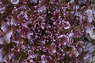 Salad, Lactuca sativa var. capitata - TCF003662