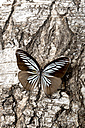 Iridescent turquoise and black butterfly on bark - AWDF000714