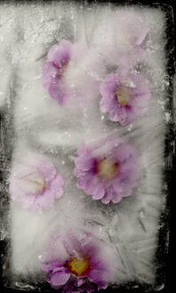 Pink flowers in ice block - AWDF000724