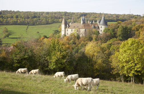 France, Cote-d'Or, Burgund, La Roch epot with Chateau de la Rochepot, in the foreground Charolais cattles - DHL000168