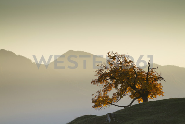 Austria, Tyrol, Inn valley, autumn tree - FFF001381