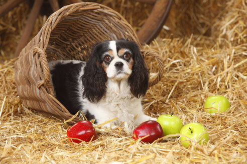 Cavalier King Charles spaniel lying at hay - HTF000127