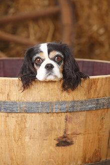 Cavalier King Charles spaniel in a tub - HTF000133