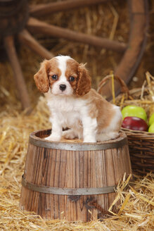 Cavalier King Charles spaniel puppy sitting on a tub - HTF000135