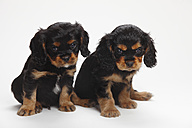 Two Cavalier King Charles spaniel puppies sitting in front of white background - HTF000177