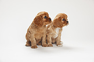 Two Cavalier King Charles spaniel puppies sitting in front of white background - HTF000156