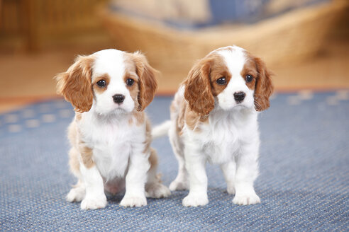 Two Cavalier King Charles spaniel puppies on a carpet - HTF000160