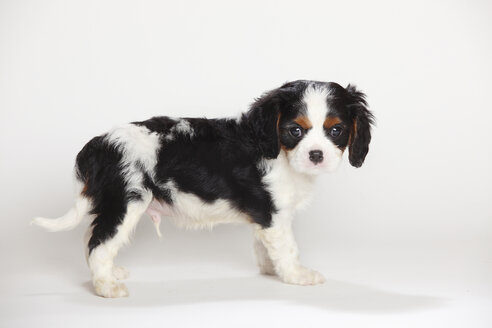 Cavalier King Charles spaniel puppy standing in front of white background - HTF000184