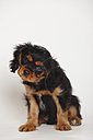 Cavalier King Charles spaniel puppy sitting in front of white background - HTF000187