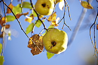 Germany, Bavaria, Quince fruit tree - SRS000399