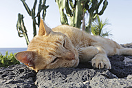 Spain, Lanzarote, Ginger cat lying on rock - JATF000442