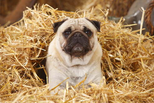Pug covered with straw - HTF000197