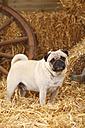 Pug standing at hay - HTF000205
