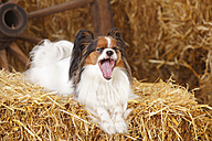 Yawning Papillon lying on bale of straw - HTF000211