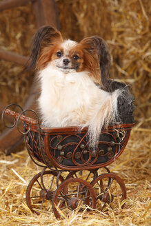 Papillon sitting in tiny doll carriage - HTF000217