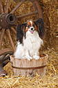 Papillon sitting in a tub - HTF000215