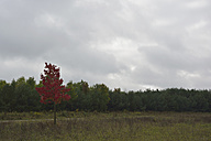 Single tree with red autumn leaves - AXF000596