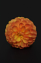 Blossom of orange dahlia (dahlia) in front of black background - AXF000587