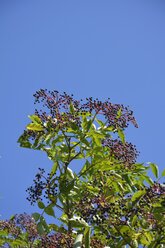Crown of a elder bush (sambucus cerulea) with elderberries in front of blue sky - AXF000572